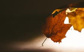 Обои листья, свет, клен, кленовые