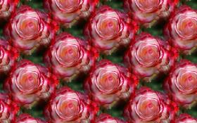 Картинка цветы, текстура, фон, роза