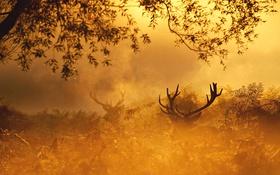 Обои осень, лес, природа, золото, олень, утро, red