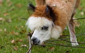 Обои морда, трава, ветка, альпака