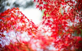 Картинка осень, листья, ветки, дерево, японский клен