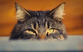 Обои глаза, кот, взгляд, кошак, котяра