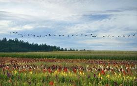 Картинка поле, цветы, птицы, луг, Бразилия, гуси