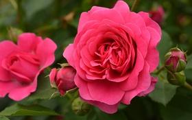 Картинка листья, роза, лепестки, бутон, rose, цветение
