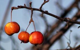 Обои ветка, яблоки, природа