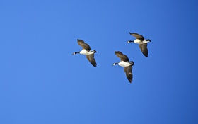 Обои небо, птицы, полёт