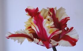 Обои макро, тюльпан, лепестки