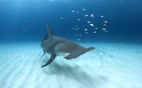Картинка Bahamas, Bimini, Great Hammerhead Shark