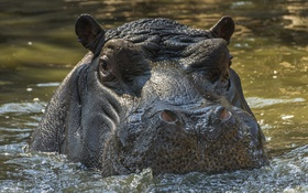 Картинка South Africa, Hippopotamus, Johannesburg Zoo