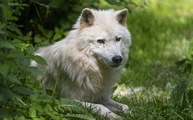 Обои белый, трава, взгляд, волк, хищник, ©Tambako The Jaguar