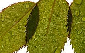 Обои макро, капли, листья