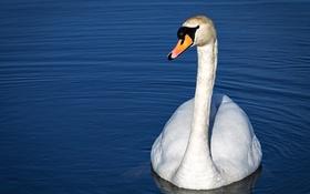 Обои белый, рябь, грация, лебедь, водоем, шея
