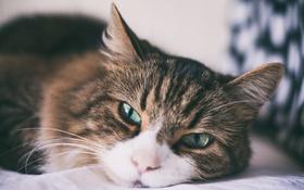 Обои глаза, кот, шерсть