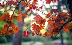 Обои осень, листья, деревья, ветки, парк, клен