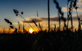 Обои небо, трава, облака, закат, стебли, кусты