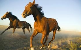 Обои поле, небо, пыль, лошади, бег, аллюр