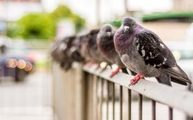 Обои голуби, город, птицы