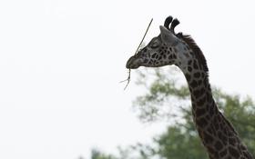 Обои морда, жираф, грация, профиль, шея