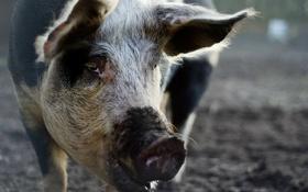 Картинка морда, макро, свинья