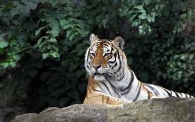 Обои зелень, животные, листья, тигр, животное, камень, куст