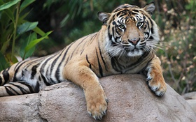 Картинка тигр, отдых, камень