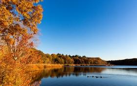 Обои осень, деревья, пейзаж, птицы, озеро, утки, США