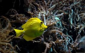 Обои макро, аквариум, рыбка, рыба, подводный мир, под водой, желтая