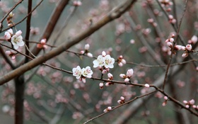 Обои pink, flowers, china, plum flower