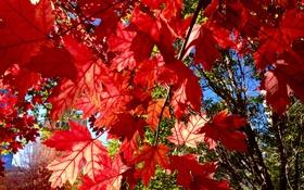 Обои осень, листья, макро, ветки, клен