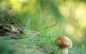 Обои лес, природа, гриб
