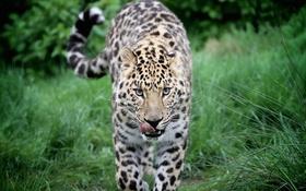 Обои язык, морда, хищник, леопард, прогулка, дикая кошка