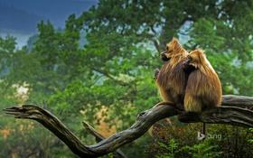 Обои лес, гелада, примат, природа