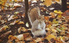 Обои осень, листья, животное, белка