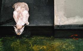 Картинка кот, вода, рыбки, кошак, котяра