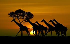 Обои солнце, жирафы, силуэты, Tanzania