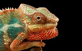 Обои глаз, хамелеон, цвет, рептилия