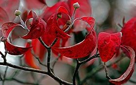 Обои багрянец, ветка, природа, листья, осень