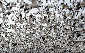 Обои птицы, природа, стая, полёт, гуси