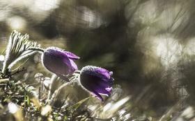 Обои grass, травка, цветение, blossom, Анемоны, Anemones