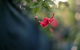 Обои red, tropical, hibiscus