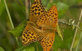Обои листья, макро, бабочки, парочка, Перламутровка красная, Перламутровка адиппа