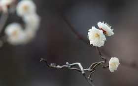 Обои белый, макро, цветы, веточка, нежность, ветка, весна