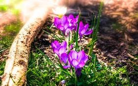 Обои весна, крокусы, бревно