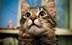 Обои кошка, глаза, кот, взгляд, кошки