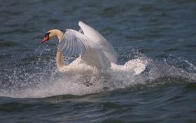 Обои белый, брызги, движение, крылья, грация, лебедь