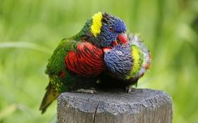 Обои цвет, перья, клюв, попугай, пара