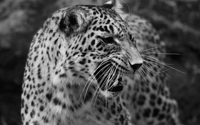 Обои хищник, леопард, черно-белое
