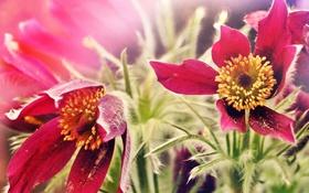 Обои природа, цветы, макро