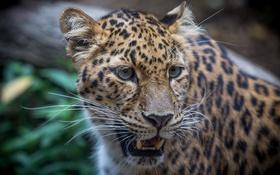 Обои дикая кошка, морда, хищник, леопард