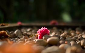 Обои розовый, цветок, камелия, макро, камни